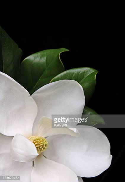 White magnolia flower over a black background