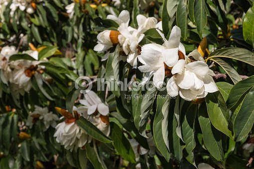 white magnolia flowers and buds with raindrops ストックフォト