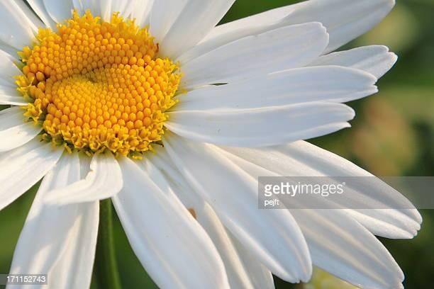 White Marguerite (Leucanthemum)