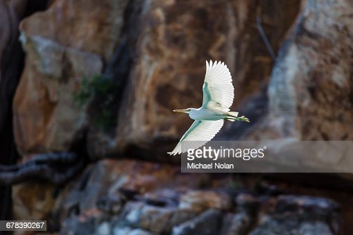 White morph of the Pacific reef heron (Egretta sacra), Mitchell River National Park, Kimberley, Western Australia, Australia, Pacific
