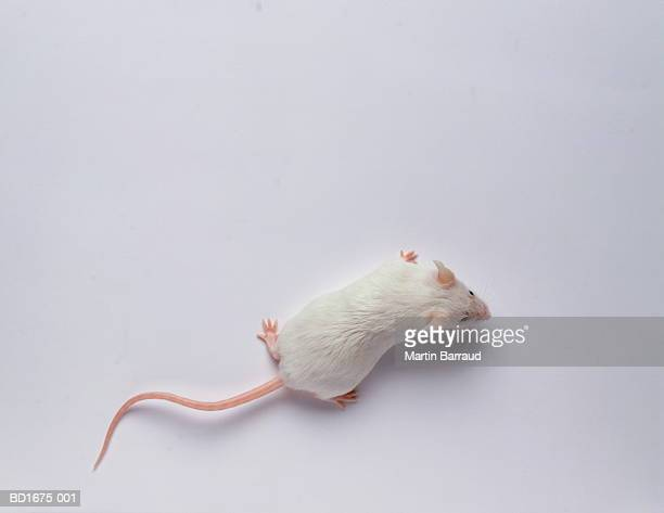 White mouse against white background, overhead view