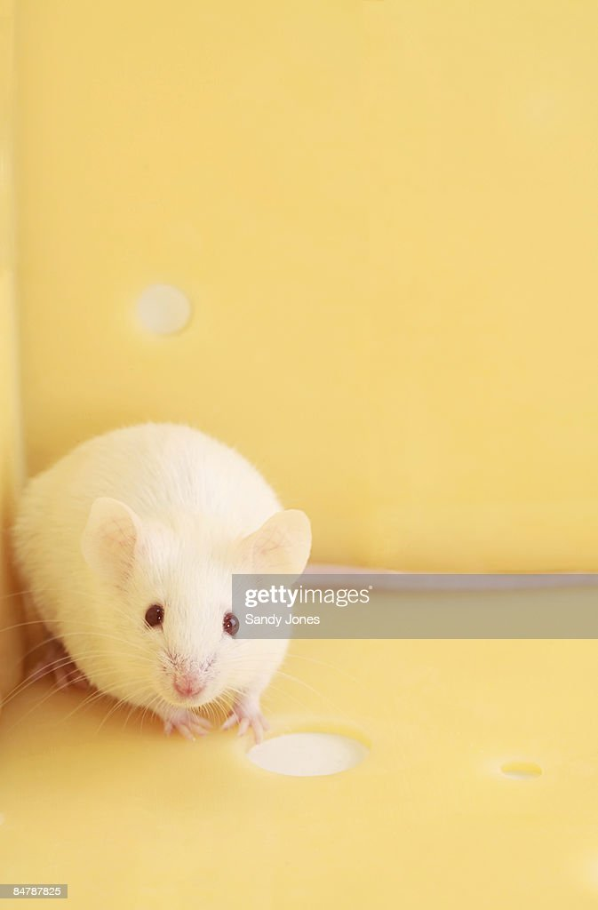 White Mouse and Cheese : Stock Photo