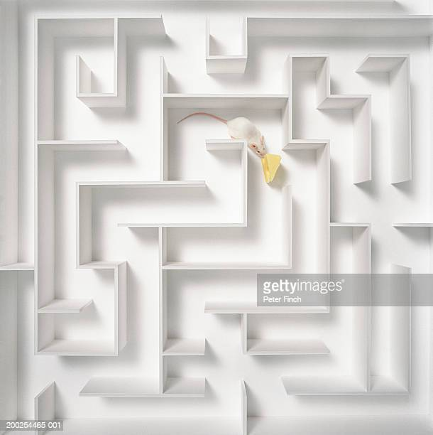 White mouse by piece of cheese in maze, overhead view