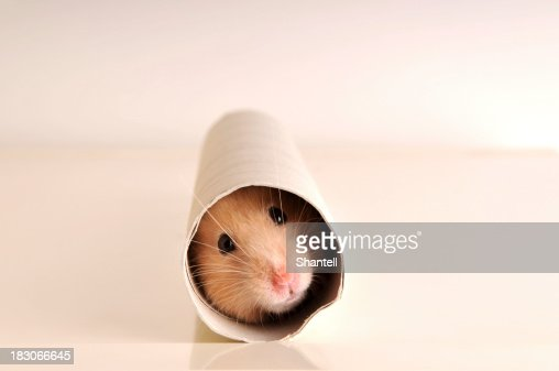 A white mouse hiding inside a paper roll