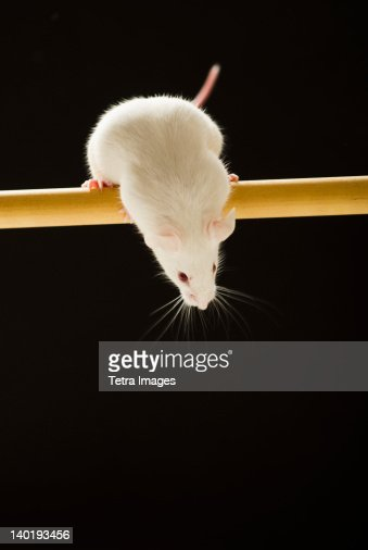 White mouse looking down, studio shot