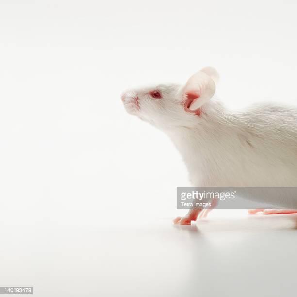 White mouse on white background, studio shot