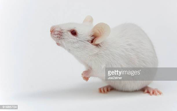 White Maus