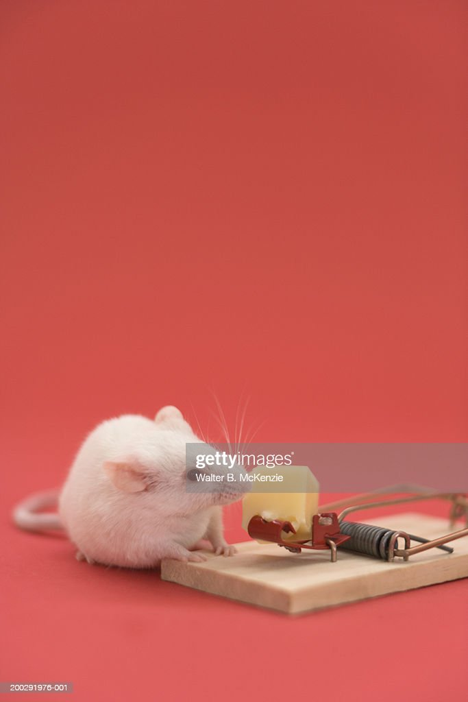 White mouse smelling cheese on trap : Stock Photo