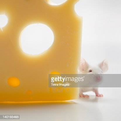 White mouse with cheese, studio shot