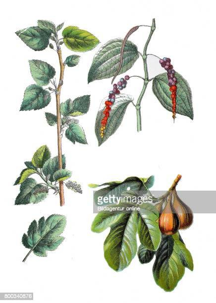 White mulberry Morus alba Black pepper Piper nigrum common fig Ficus carica