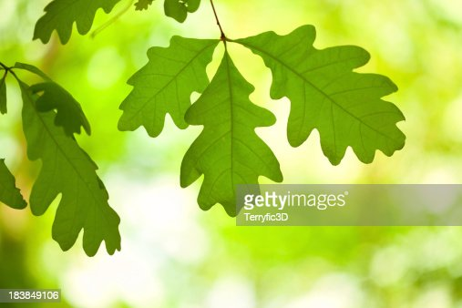 White Oak Tree Leaves in Forest, Backlit