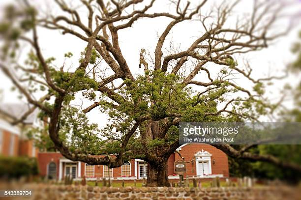 A white oak tree the oldest in North America in the northern hemisphere and perhaps the world is seen in Basking Ridge NJ on June 23 2016 The tree is...