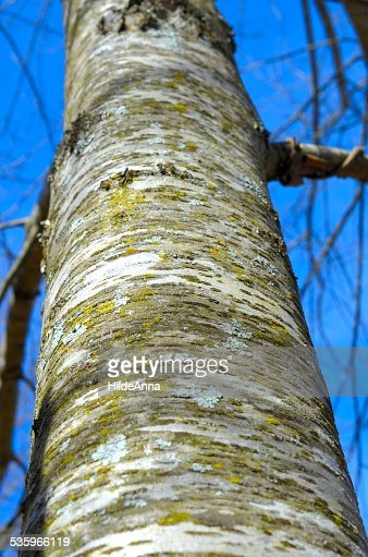 White Oak Tree Trunk : Stock Photo