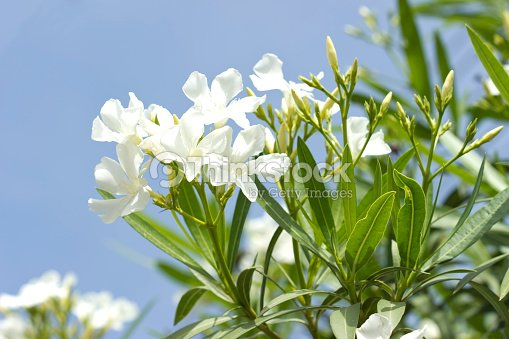White oleander stock photo thinkstock white oleander stock photo mightylinksfo