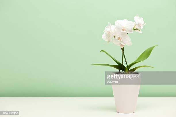 White orchid in a white case against mint green background