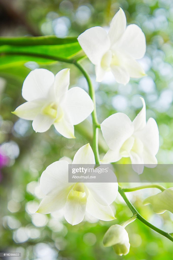 white orchid  in the garden background with bokeh style : Stock Photo