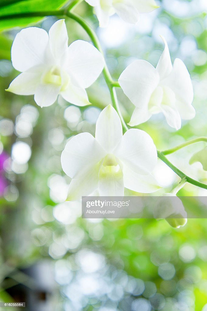 white orchid  in the garden background with bokeh style : Foto de stock