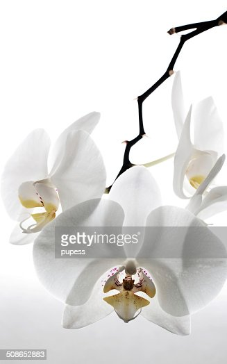 White orchid : Stock Photo