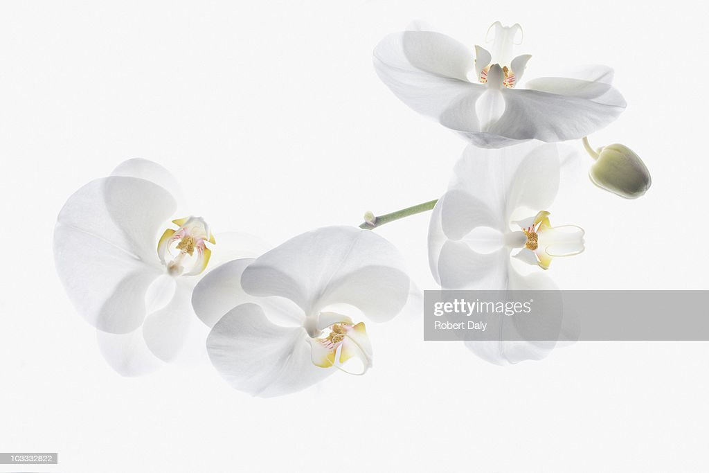 White orchids on stem : Stock Photo