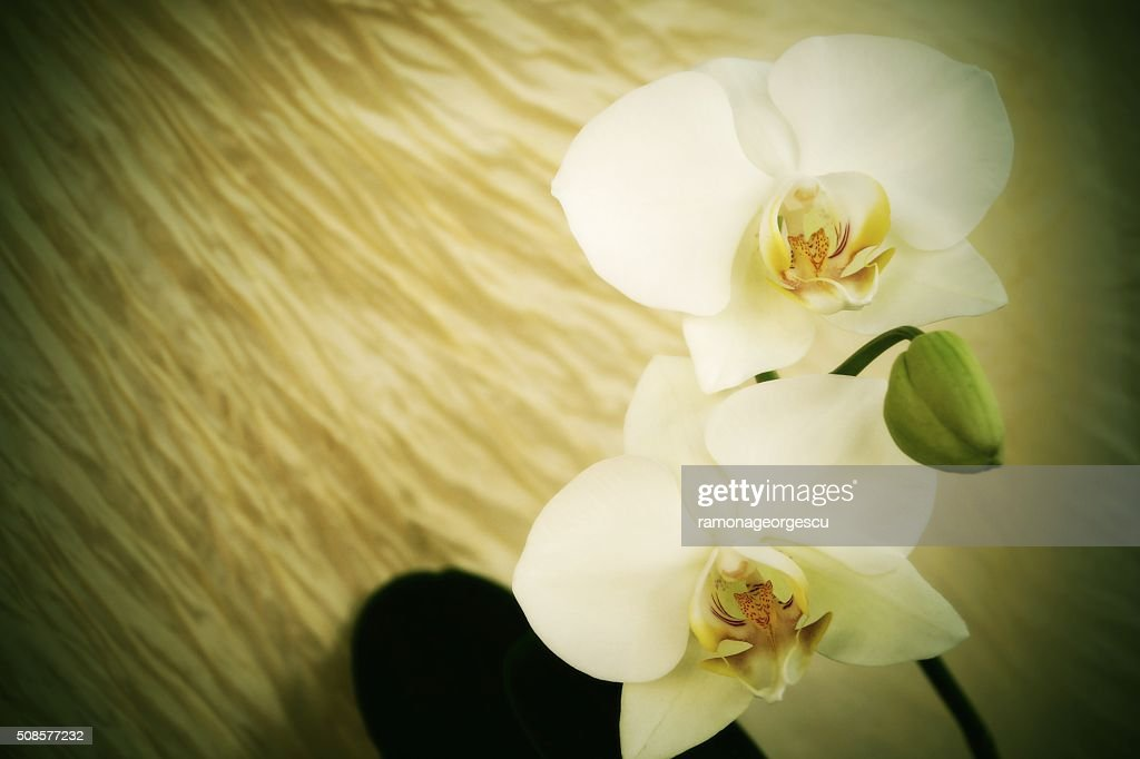 White orchids - vintage style : Stock Photo
