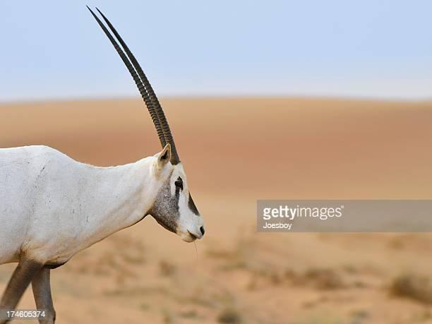 White Oryx In Dubai