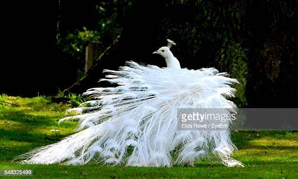 White Peacock In Forest