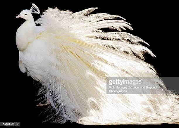 White Peacock posing against black background