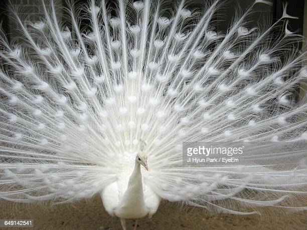 White Peacock With Feathers Fanned Out On Field
