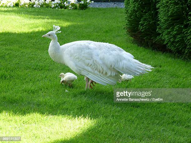 White peacock with young animals in park