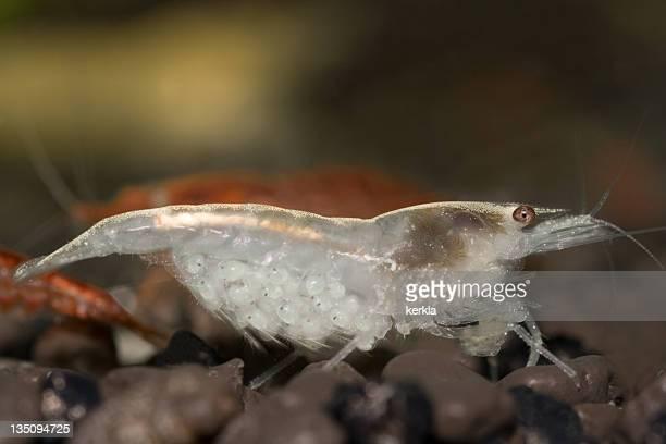 Weiße Perle Zuckerhut Garnelen (vgl. Neocaridina zhangjiajiensis