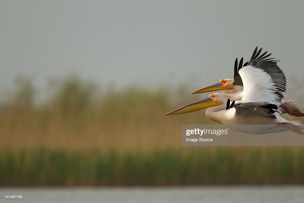 White pelican flying in Danube Delta, Romania : Stock Photo