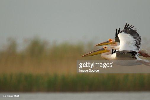 White pelican flying in Danube Delta, Romania : Stock Photo