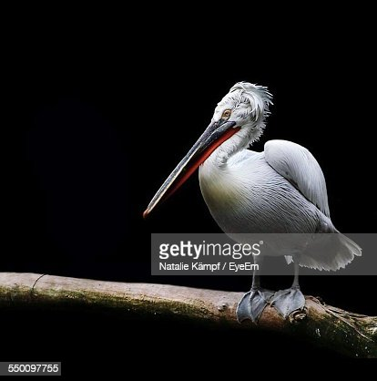 White Pelican Perching On Branch At Night