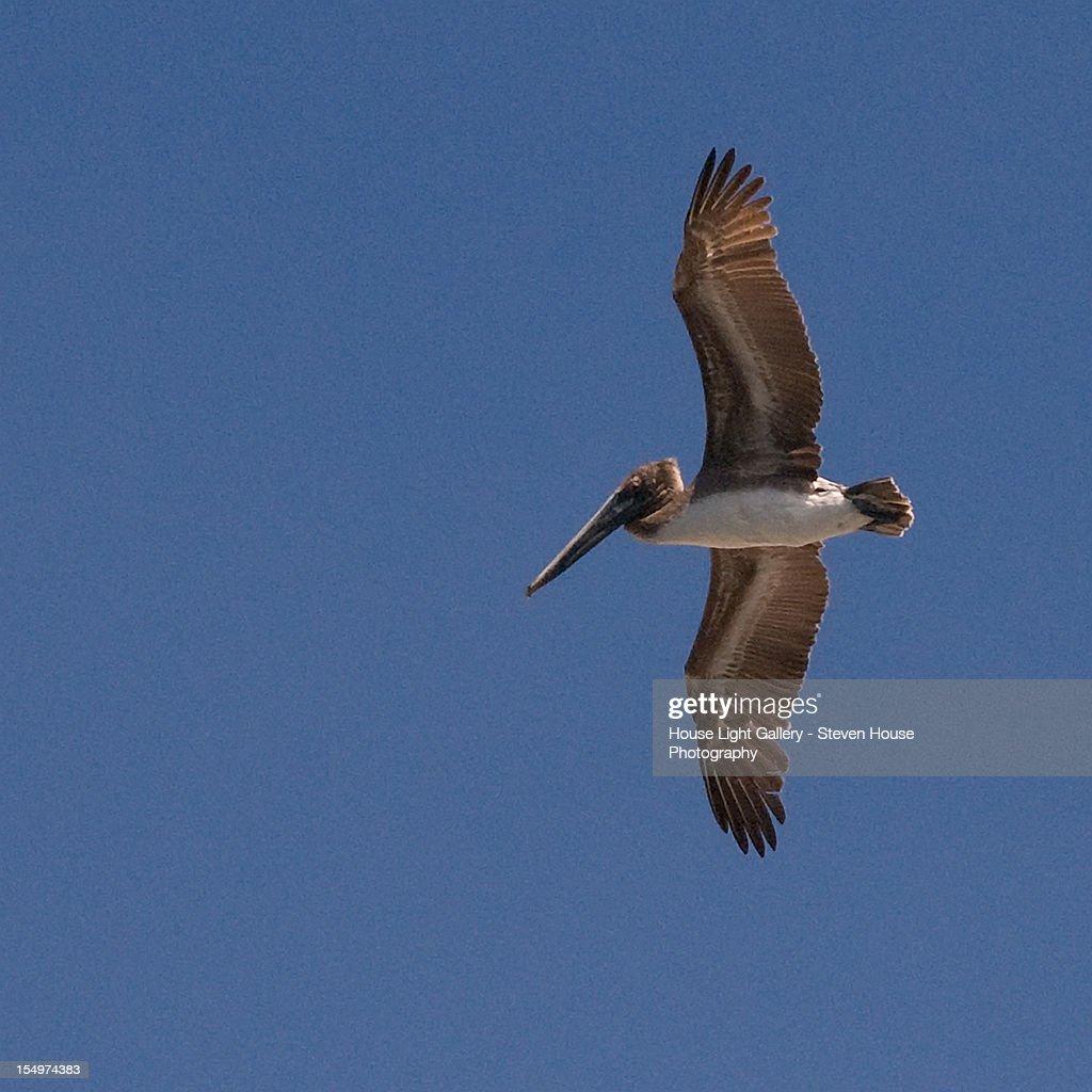 White Pelican : Stock Photo