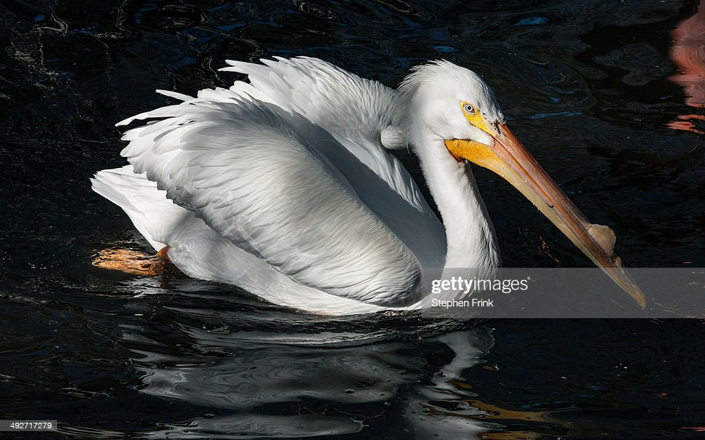 White pelican. : Stock Photo