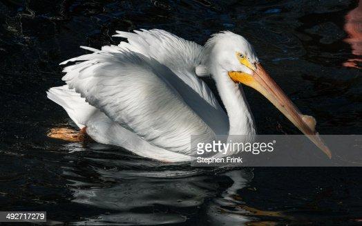 White pelican. : Stock Photo