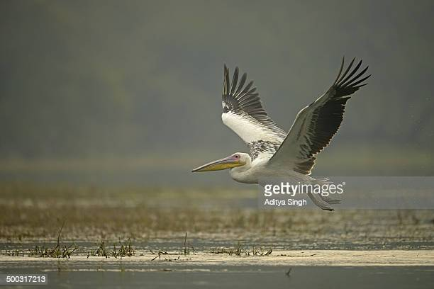 White Pelican taking off from a lake