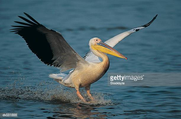 White Pelican, wings outstretched landing in water (Pelecanus onocrotalus)