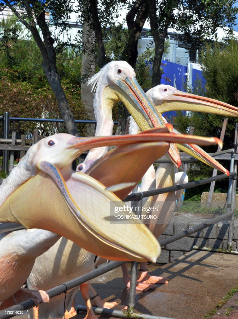 White pelicans battle to catch little fish thrown by a visitor to attract summer vacationers at the Hakkeijima Sea Paradise aquarium in Yokohama, suburban Tokyo on August 29, 2013. Tokyo metropolitan's temperature climbed over 30 degrees Celsius on August 29 following a heatwave in the area. AFP PHOTO / Yoshikazu TSUNO