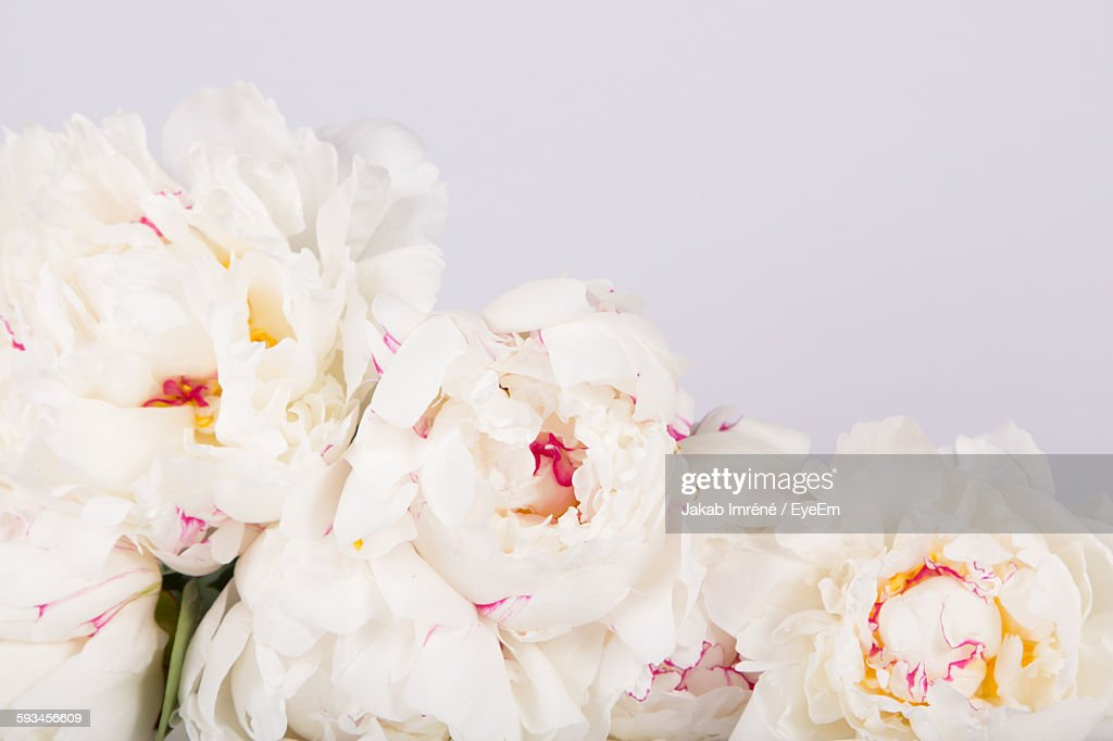 White Peonies Against White Background