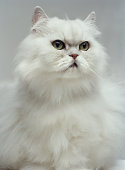 White Persian cat, close-up (Digital Enhancement)