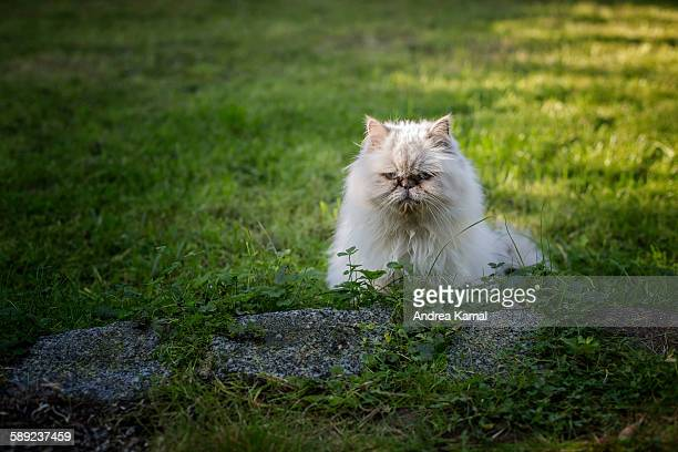 White Persian cat in the garden
