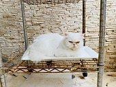 Gato persa blanco acostado en un plato