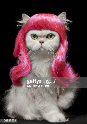 White Persian Cat wearing hot pink wig : Stock Photo