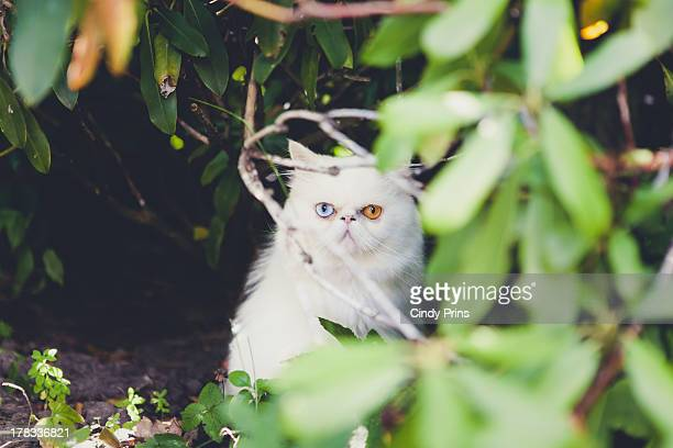 White persian cat with two different colored eyes