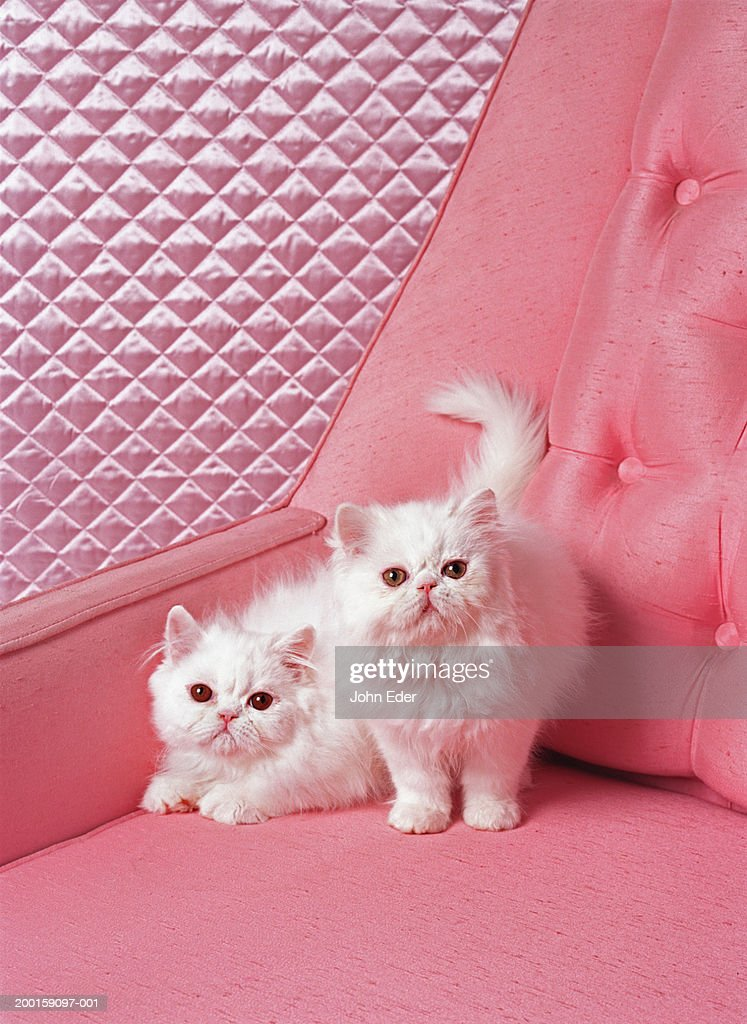 White Persian cats on pink sofa