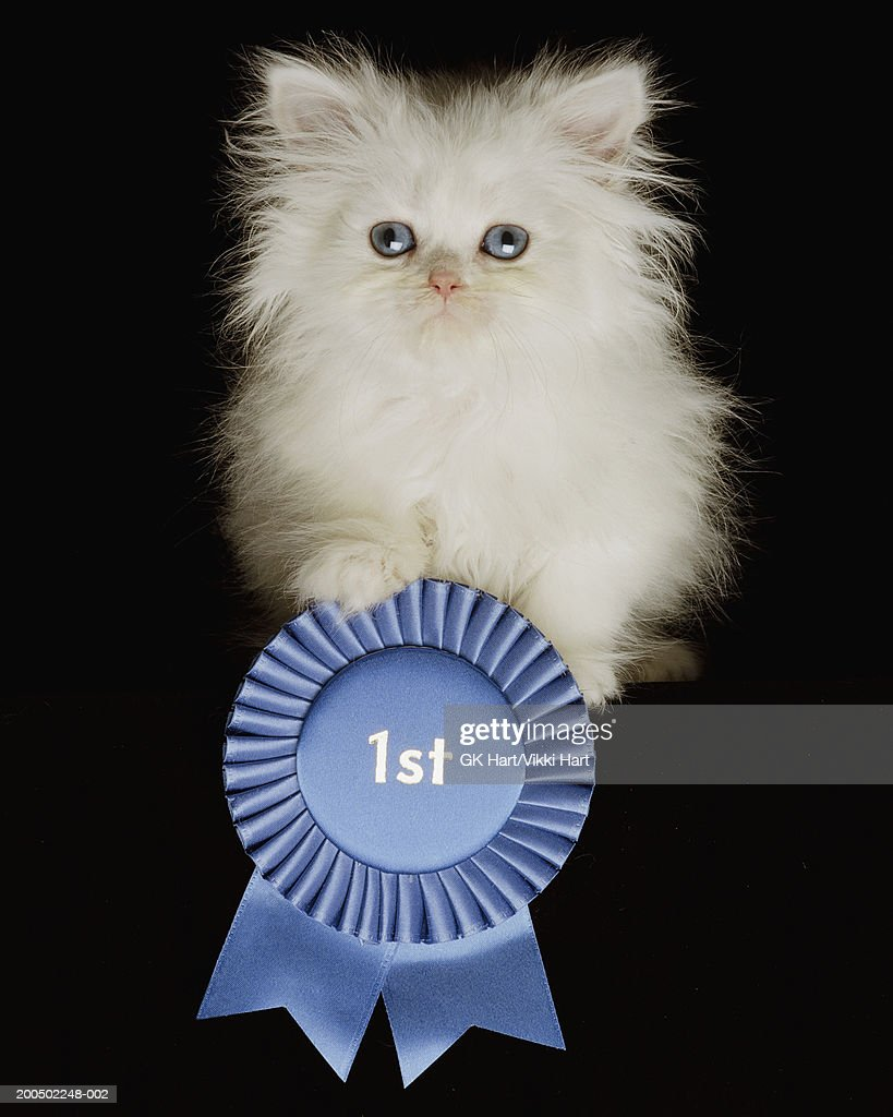 White Persian Kitten With Blue 1st Rosette Front View Portrait