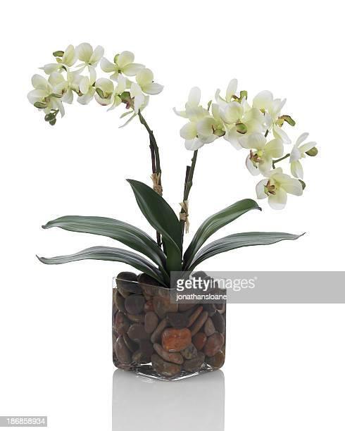 Blanca orquídea phalaenopsis sobre fondo blanco
