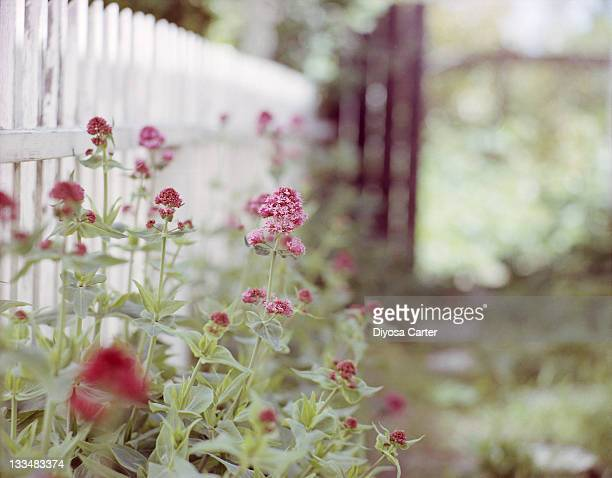 White picket fence and pink flowers