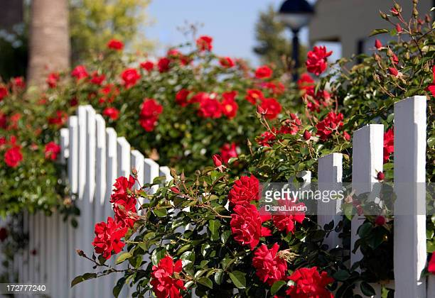 White Picket Fence and Red Roses